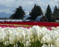 tulips-and-barn2