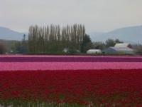 tulips-last-day-2011