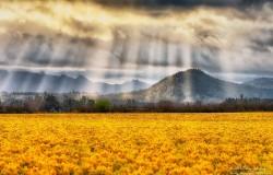 la_conner_daffodils
