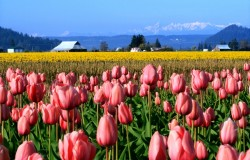 Skagit_Valley_Tulip_Festival_2013_Page