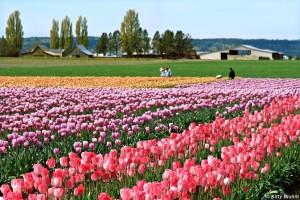 Skagit_Valley_Tulip_Festival_Planning_Guide