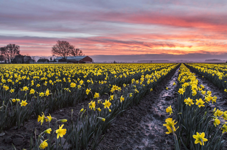 La Conner Daffodil Festival Love La Conner