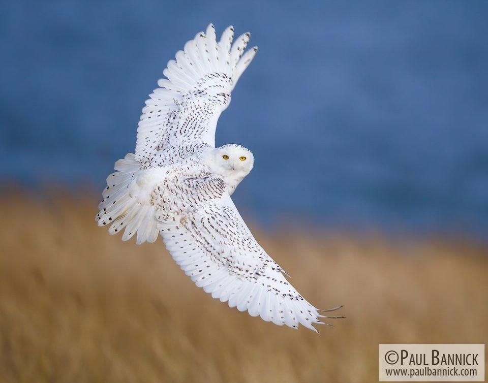 paul-bannick-snowy-owls