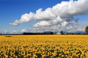 skagit valley tulip festival daffodils