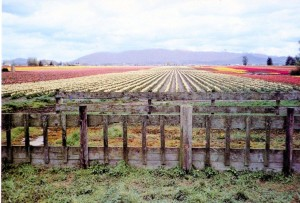 tulip field and fence101